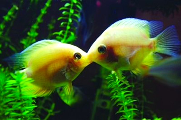 Why Do Kissing Fish Kiss How Should They Be Kept